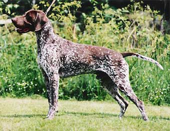 german shorthaired pointer, lyhytkarvainen saksanseisoja
